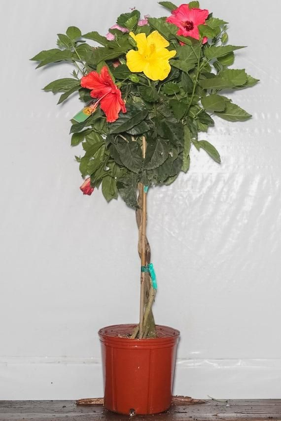 Braided Hibiscus Tree Mix 4 Colors Overall Height 44 48 3
