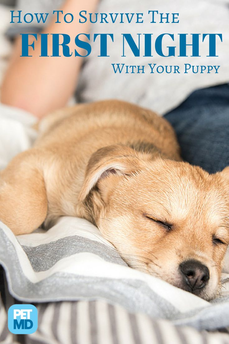 When bringing a new puppy home, you have to make sure he feels secure. Here's a quick guide for surviving the first night!