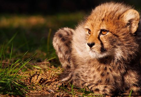 Cheetaprojecten | Stichting SPOTS    Steun de projecten om de cheeta in het wild te steunen.