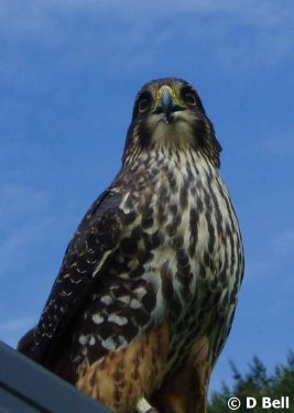 Native Birds - Welcome to NZ Falcon website - Distribution, resources, report an observation...