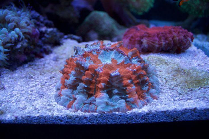 meat corals - Mr Saltwater Tank