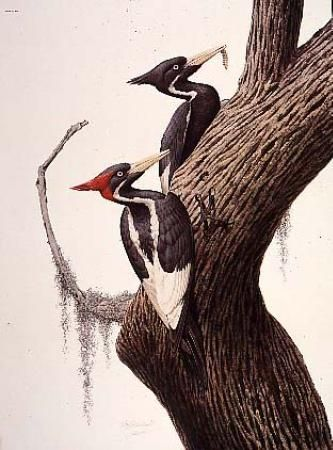 ivory billed woodpecker 22 x 30