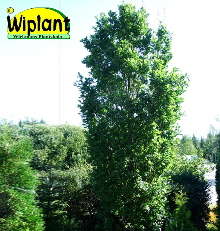 Quercus robur 'Fastigiata', Pelarek (Pyramidek). Smal form för varm plats. Höjd: 6-10 m.