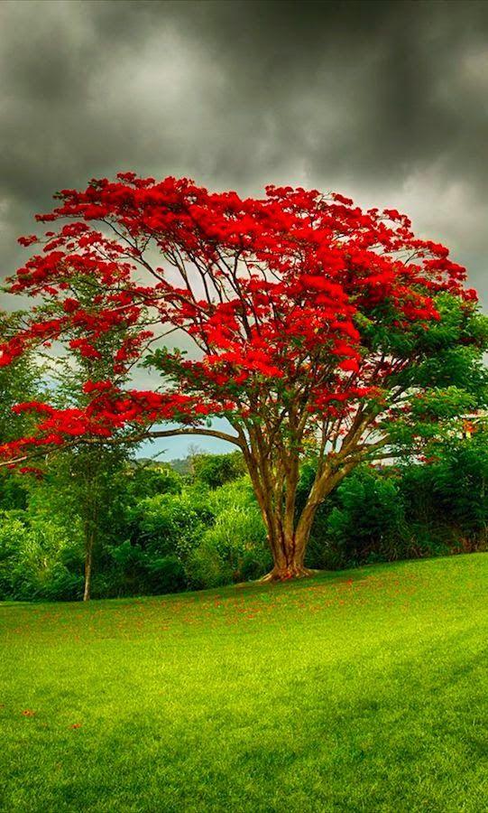 Royal poinciana (flamboyant tree) in Puerto Rico
