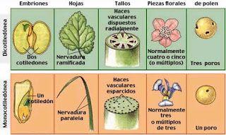 Reino Plantae: CLASIFICACIÓN DE LAS PLANTAS
