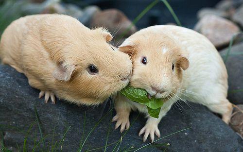 Gimme pig