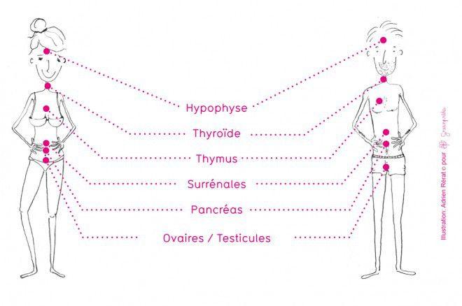 Le système endocrinien qu'il faut chouchouter absolument! (image Greenpride) :)