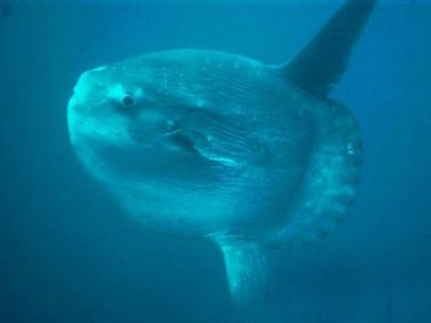 En tuhaf deniz yaratıkları-Ocean Sunfish Derin suların güvenilir bekçisi ocean sunfish dünyanın en kemikli balığı olarak biliniyor.