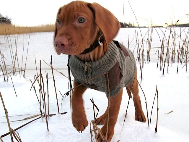 "Mauro-puppy (Hungarian Vizsla) wearing ""a hunting jacket"""