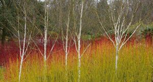 Peter Dowdall discusses the importance of focal points in the garden and selects the silver birch as best.