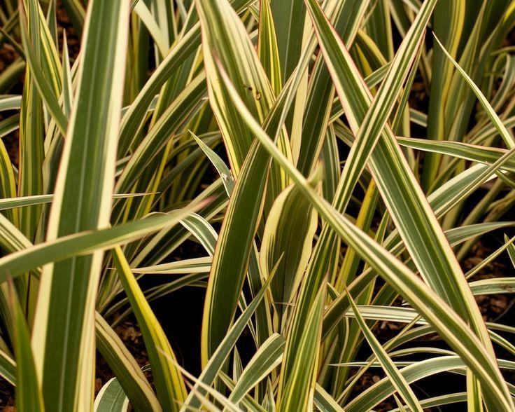 Phormium cookianum ssp. hookeri 'Tricolor'