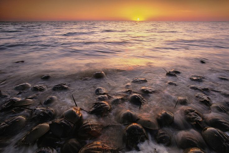 Each spring and summer, horseshoe crabs migrate from deep-bay and continental shelf waters and crawl onto beaches to spawn, according to the Maryland Department of Natural Resources. Spawning peaks around full and new moon high tides in May and June, and the spectacle is definitely a sight to see.