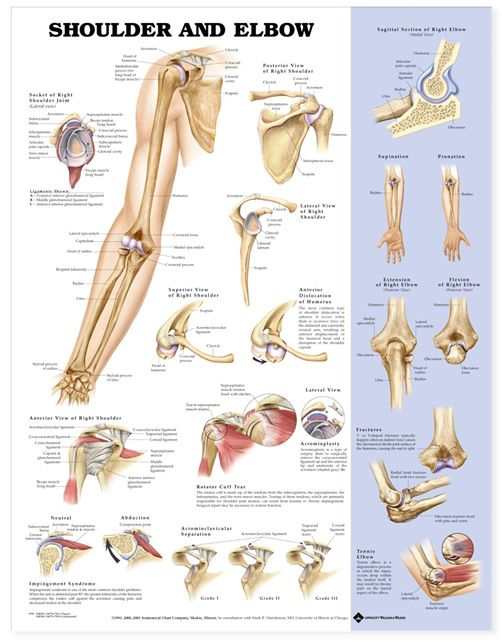Elbow Joint Anatomy Diagram Simple | Shoulder and Elbow Anatomical Chart / Poster - Laminated 9781587797552
