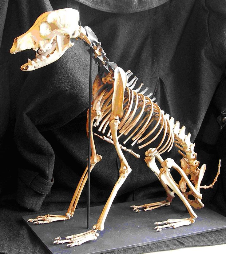 This is the much-renowned dog skeleton recovered in pieces from The Mary Rose, and assembled and mounted by Simon Moore in 2009.