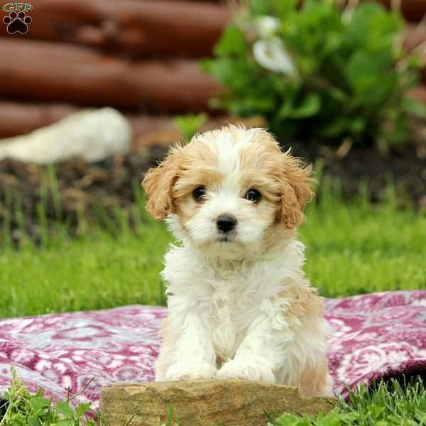 Rollo Cavachon Puppy For Sale In Pennsylvania Cavachons I M Getting One Cute Puppies Cavachon Cavach Cavachon Puppies Cavachon Cavachon Dog
