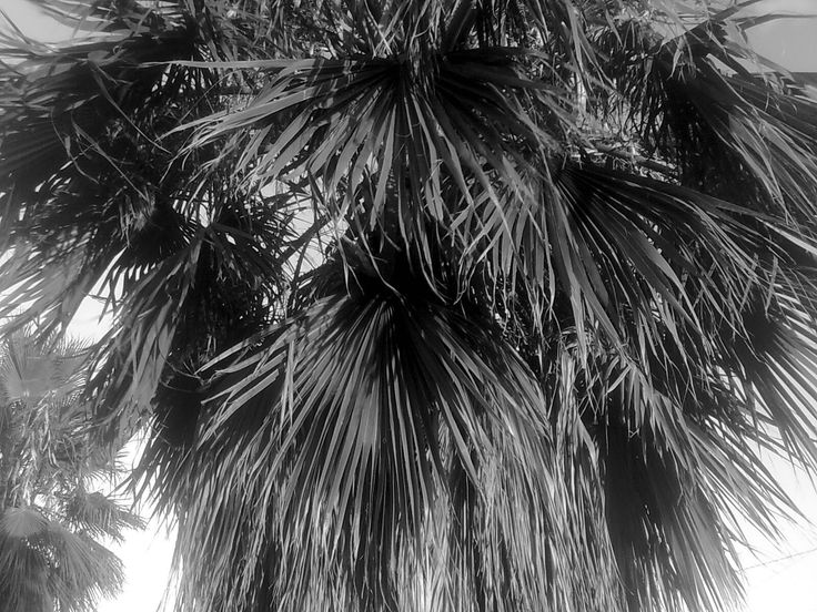 Palm trees in my hood
