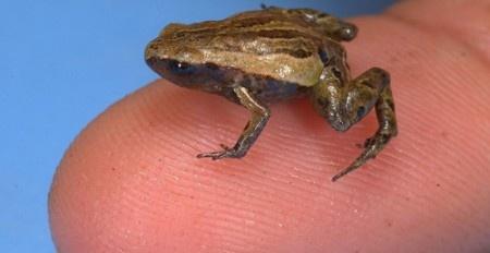 5 фотографий самой маленькой лягушки в мире