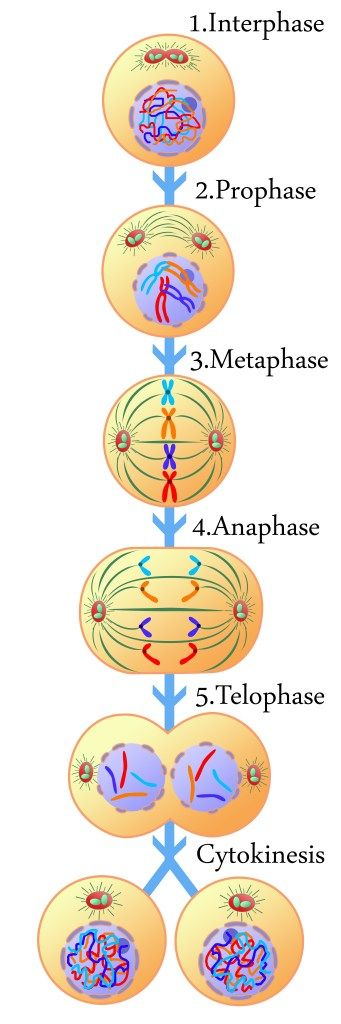 What happens in the cell cycle? Interphase & Mitosis Review