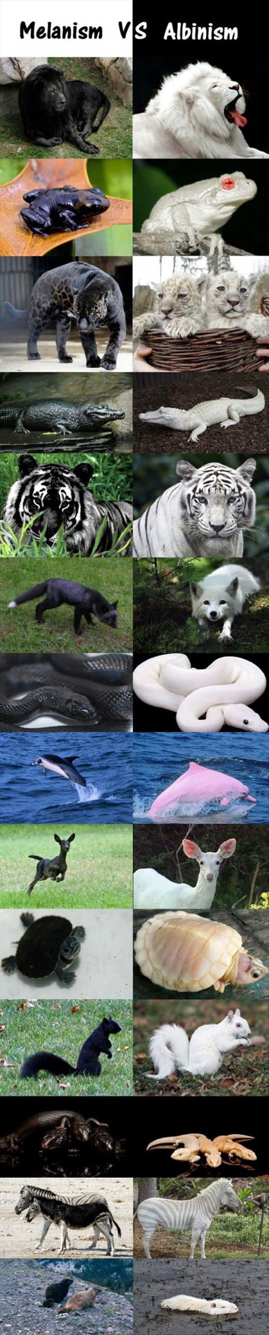ughhhh albanism is NOT the same as leucisim. the lions and tigers and any other animal that is completly white with BLUE eyes is leucistic and if the animal is all white with RED eyes then and only then is it considered an albino. thank you.
