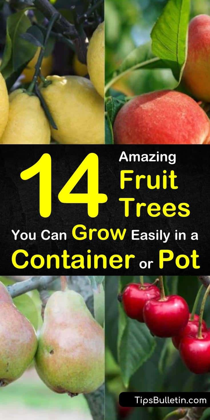 14 Amazing Fruit Trees You Can Grow Easily In A Container Or Pot Potted Fruit Trees Fruit Trees In Containers Growing Fruit Trees