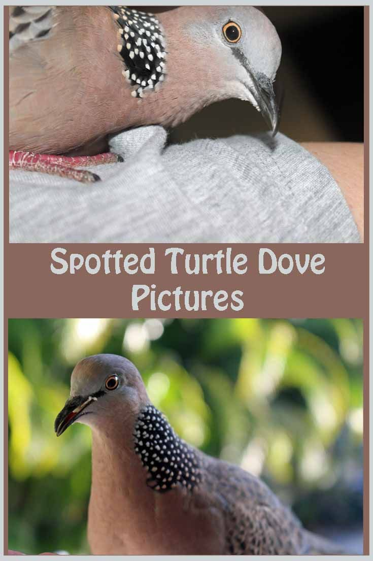 Spotted Turtle Dove Pictures