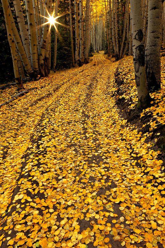 Glowing Carpet, Aspen Path, Colorado-Follow the Yellow Brick Road!