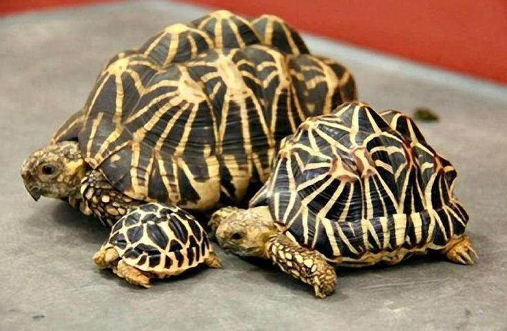 """Star"" Tortoises: Dad, Mom & Junior! (""Star"" in French is: ""L'etoile."")"