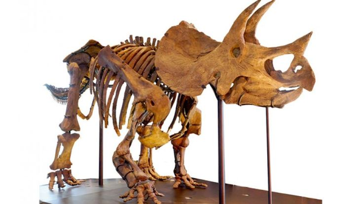 Mark Armitage.. discovered in 2012 the largest triceratops horn ever recovered from the world-famous Hell Creek Formation in Glendive, Mont.  Upon further examination of the fossils under a high-powered microscope, Armitage found -- soft tissue inside the triceratops horn with bone cells, or osteocytes, that looked alive.