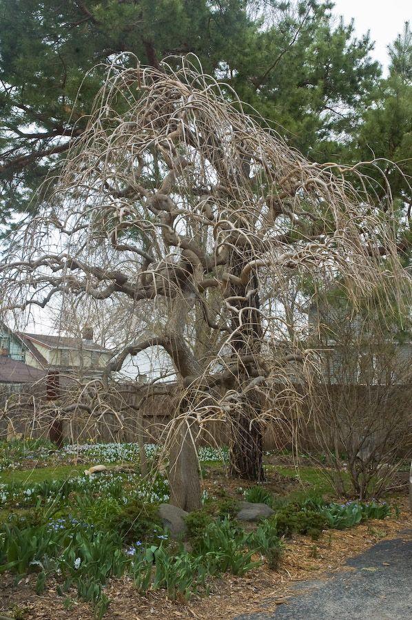 Weeping mulberry my fruit trees pinterest specimen for Specimen trees