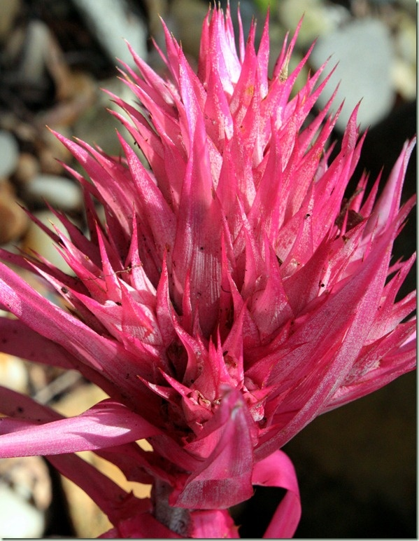 128 best images about bromiliads on pinterest texas for Aechmea fasciata