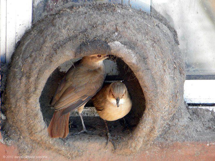 ❤️. Hornero, ave nacional de Argentina ... su nido es una verdadera construcción arquitectónica, con un tabique interior para proteger la cría ...