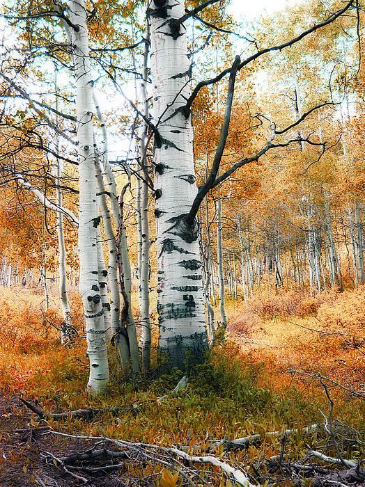 Image Result For Watercolor Birch Trees Autumn Scenery