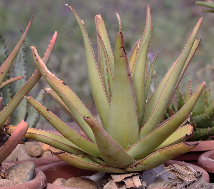 119 best images about aloe on pinterest madagascar belle and forts - Aloe vera culture ...