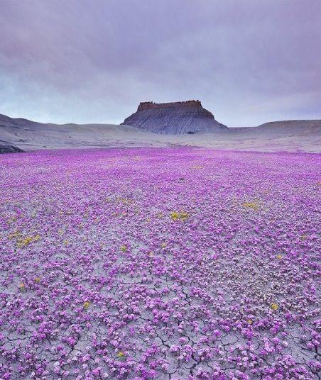 Цветущая пустыня Анза-Боррего   Это может показаться удивительным, но перед вами фотографии пустыни. В американском национальном парке Анза-Боррего, Калифорния раз в году высохшие пустоши покрываются миллионами цветов. Посмотреть на это удивительное событие приезжают люди со всей страны.   Крутые ущелья, мертвая соленая земля, немногочисленная фауна, с трудом выживающая в этих непростых условиях, — только это зрелище способно захватить дух настоящего путешественника. Однако если вам…