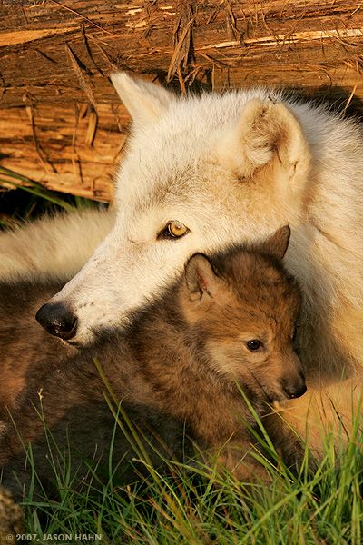 Timber Wolf Pup Chinowa acting playing mom to a Timber Wolf Pup