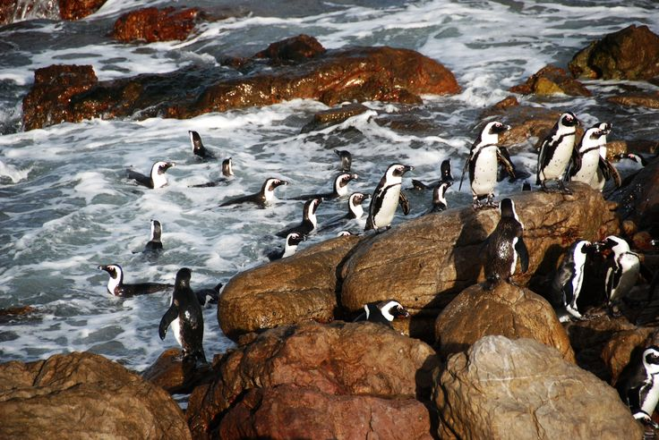 South Africa - Betty's Bay - Pinguins