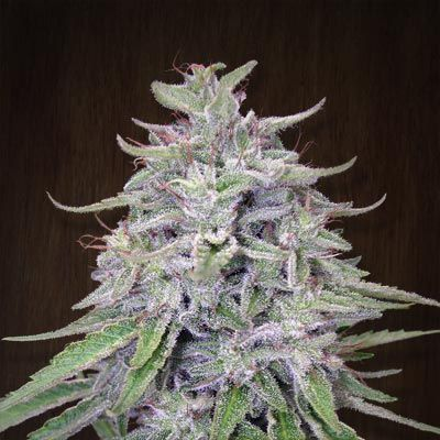 Bangi Haze is one the fastest and most stabilized sativa hybrids in our collection It is a compact sativa that produces dense flowers of floral and