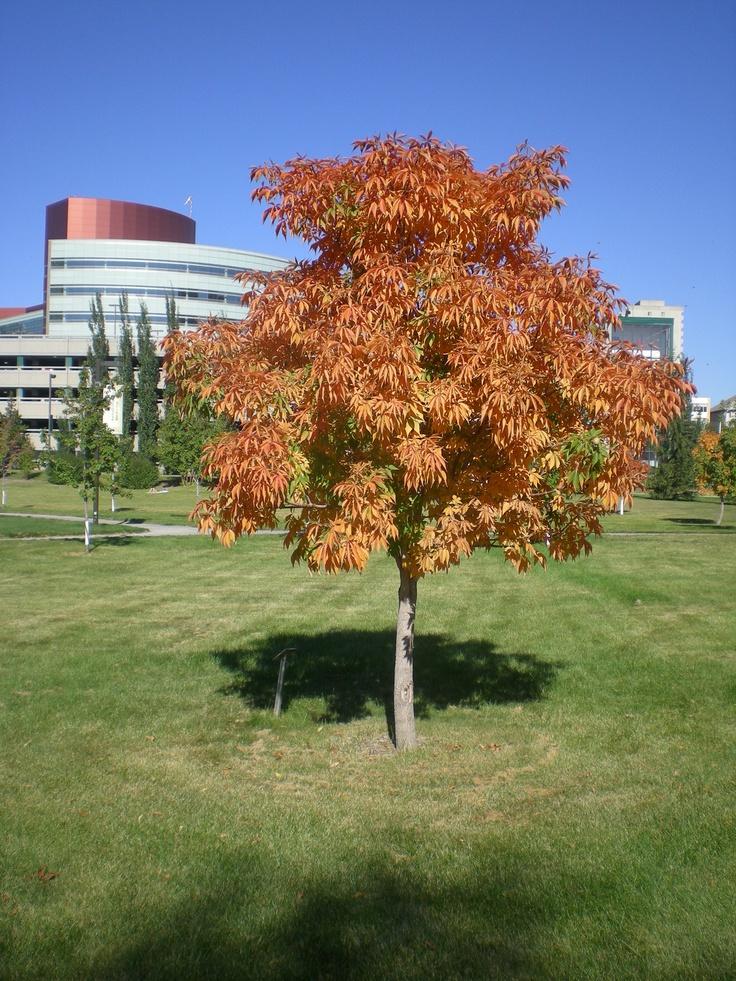 Lawn in front of Corbett Hall, University of Alberta Campus. Mazankowski Alberta Heart Institute in background