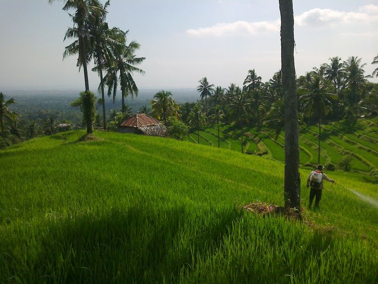 Bali, Buleleng - Panji : Fresh at rice field