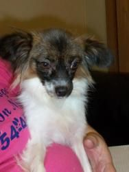 """PLEASE REPIN!!!!>>>>>CENTRAL OHIO POMERANIAN RESCUE>>>>>Marengo, OHIO>>>>Pretty special needs papillon """"Hope' is an adoptable Papillon Dog in Marengo, OH. Hope:  Special Needs Female spayed 5 yr. old Chesnut brown and white Papillion. High energy but total love bug. Hope was raised in a puppy mill and ..."""