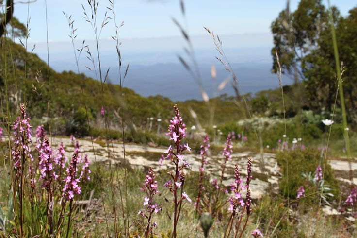wildflowers in bloom at Mt Baw Baw