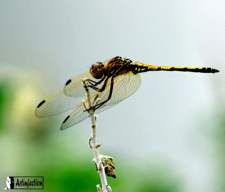 Dragonfly macro ©Artinfection