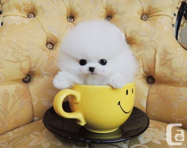 Tiny White Micro Teacup Pomeranian Puppies For Sale In