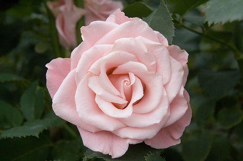 Google Image Result for http://www.bestflowerwallpapers.com/wp-content/uploads/2012/03/3a2e0_rose_pale_pink_flower_451794488_720956bf54.jpg