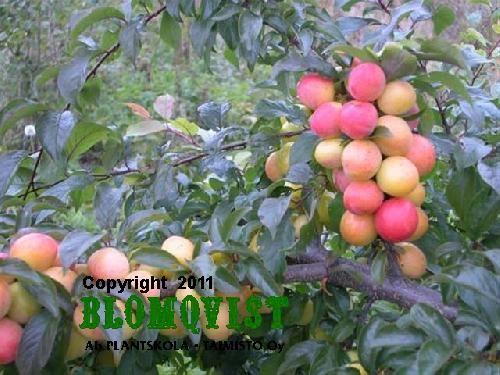 Prunus cerasiferaKometa (Kubanskaja Kometa)