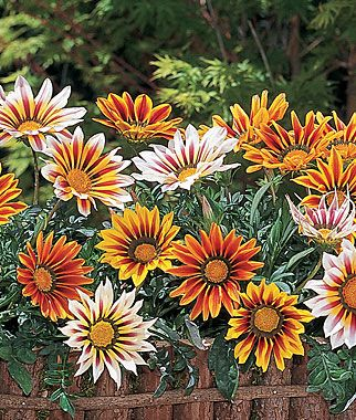 great in flower pots or gardens, lots of blooms up to very cold weather, likes afternoon sun, and tolerated periods of neglect