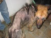 Low thyroid and skin problems - German Shepherd Dog Forums