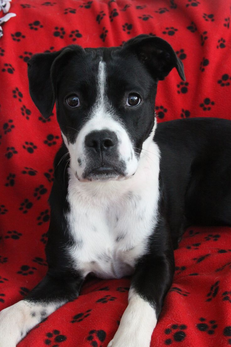 FEB 1, 2016. AMAZING Miss Daisy is available for adoption in San Diego. She is sweet and energetic. GREAT 60lb boxer mix. spayed, microchip, up to date on shots.  Awesome with other dogs, especially small pups, NO cats, older children over 12.  She is  busy and needs a present, active, experienced adopter.  Application: www.LuckyPupDogRescue.com   Rescued from high kill shelter hours before her time was up.  Lucky Pup is a 501c3 non profit volunteer based dog rescue.