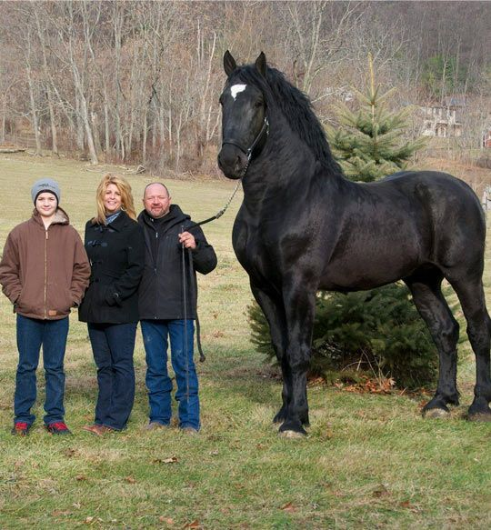 Percheron Horse - Majestic as all get-out.  This horse has great strong shoulders and a super strong neck, and he shows off his finest features proudly while dwarfing his handlers.  Oh how I would love to have a ride in his saddle. He must have a huge stride!  Just beautiful to behold!