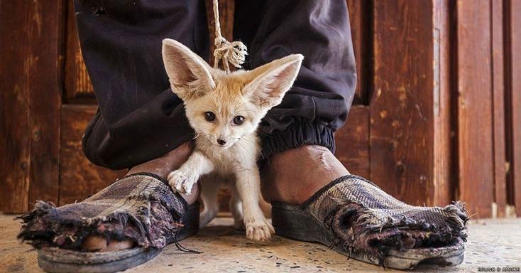 Wildlife Photographer of the Year 2014. A imagem do italiano Bruno D'Amicis venceu na categoria 'o mundo em nossas mãos'. Ele mostrou um adolescente de um vilarejo no sul da Tunísia vendendo um filhote de raposa-do-deserto - comércio ilegal mas comum em vários países do norte da África.  BBC - UOL Notícias.